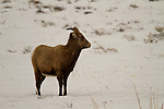 A Bighorn Ewe in winter