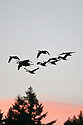 Flock of geese flying silhouetted against a pink sunset sky. Stock photography from Olympic Photo Group
