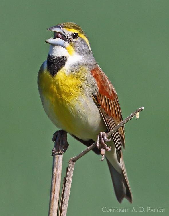 Adult male dickcissel singing