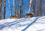 White-tailed deer standing on a forest ridge in northern Wisconsin.