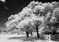 Infrared trees and fence, Llano, Texas.<br /> <br /> Nikon F3HP, 24mm lens, red filter, Kodak High Speed Infrared fim