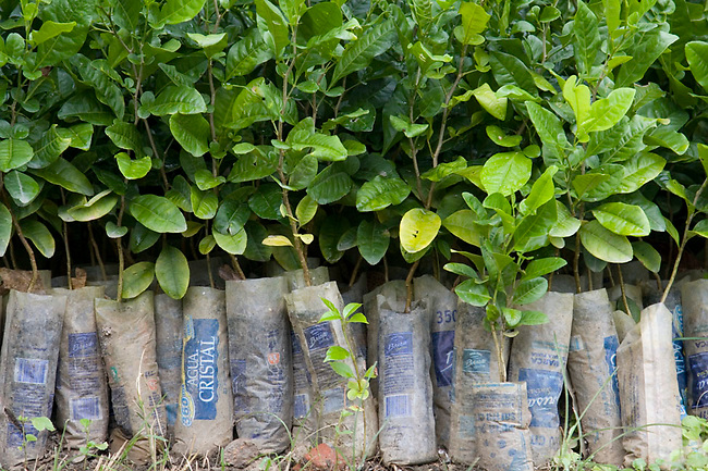 Proyecto Titi's reforestation component: Seedlings grown to re-forest Colombia's denuded hillsides.