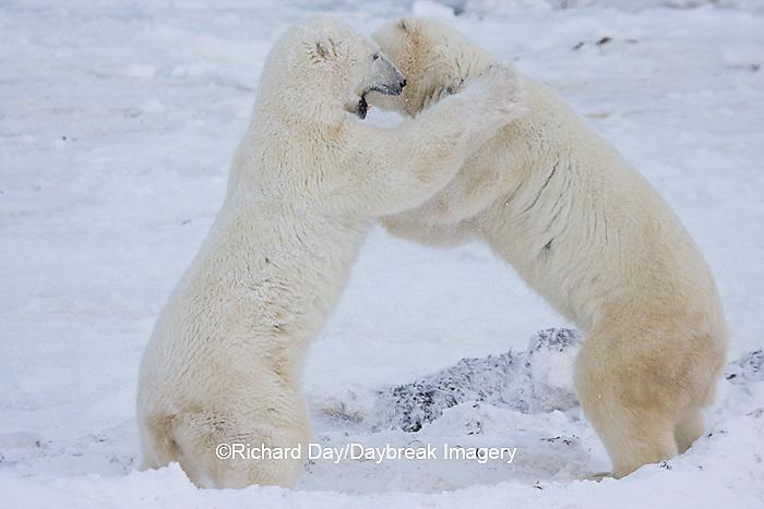01874-11408 Polar Bears (Ursus maritimus) sparring, Churchill Wildlife Management Area MB