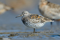 Great Knot (calidris tenuirostris) roosting on Yellow Sea mudflats at high tide. Yalu jiang, China. April.