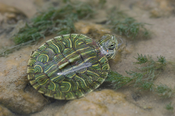 Red-eared Slider, Trachemys scripta elegans, young in creek, Willacy County, Rio Grande Valley, Texas, USA