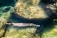 Trumpetfish, Shark's Cove, Oahu