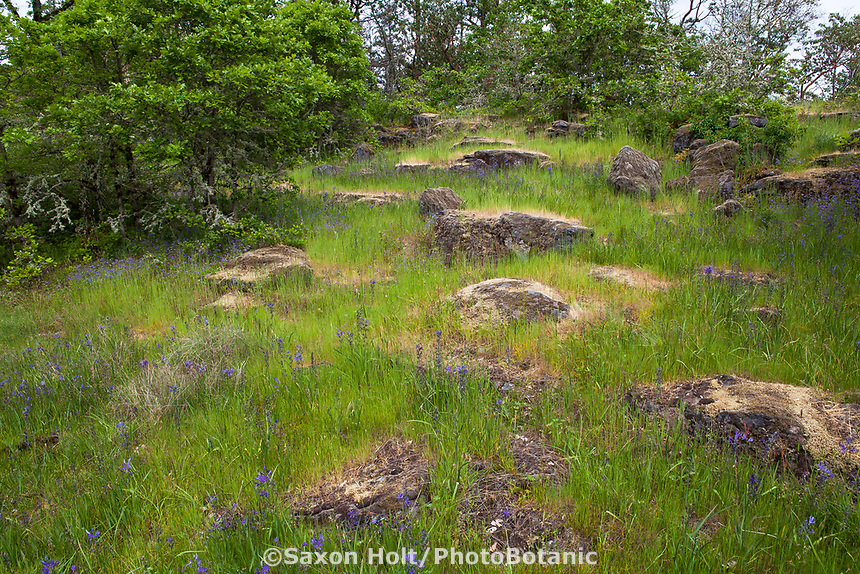 Natural rock stepping stones in nature's garden meadow lawn - Camassia Nature Preserve, The Nature Conservancy protected park, Portland Oregon