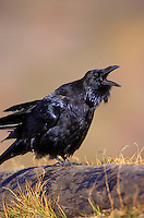 Common Raven. Fall. North America. (Corvus corax)..