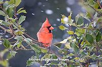 01530-206.13 Northern Cardinal (Cardinalis cardinalis) male in American Holly tree (Ilex opaca) in winter, Marion Co., IL