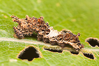 A Viceroy Butterfly (Limenitis archippus)  caterpillar (larva), which mimics a bird dropping, feeding on a Cottonwood leaf, Bald Eagle State Park, Howard, Centre County, Pennsylvania