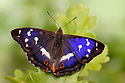 Purple Emperor butterfly {Apatura iris} male on English Oak {Quercus robur} leaf basking with wings open, Captive, UK