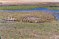 Nile Crocodile, Chobe Riverfront, Botswana