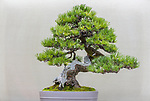 Shore Pine (Pinus contorta var. contorta)<br /> Bonsai since 1980, Jack Sullivan collection, Pacific Bonsai Museum, Federal Way, Washington