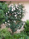 Compassion climbing Rose bush, Rosa hybrid