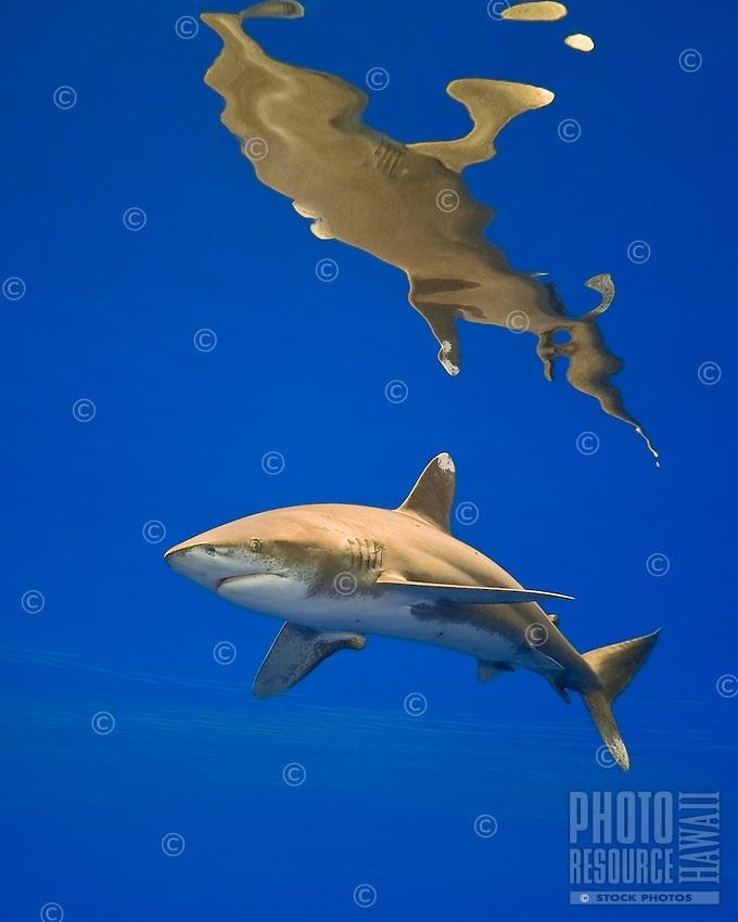 Oceanic whitetip shark, Carcharhinus longimanus, threatened spcecies, Kona Coast, Big Island.