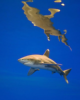 Oceanic whitetip shark, Carcharhinus longimanus, threatened spcecies, Kona Coast, Big Island.