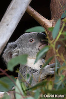 0802-1004  Koala, Phascolarctos cinereus © David Kuhn/Dwight Kuhn Photography
