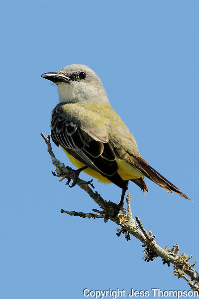 Tropical Kingbird, Rockport, Texas