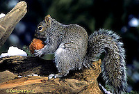 MA23-001z  Gray Squirrel - eating weathered apple in winter - Sciurus carolinensis