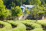 Curved beds of lavender on the verge of bloom. This image is available through an alternate architectural stock image agency, Collinstock located here: http://www.collinstock.com