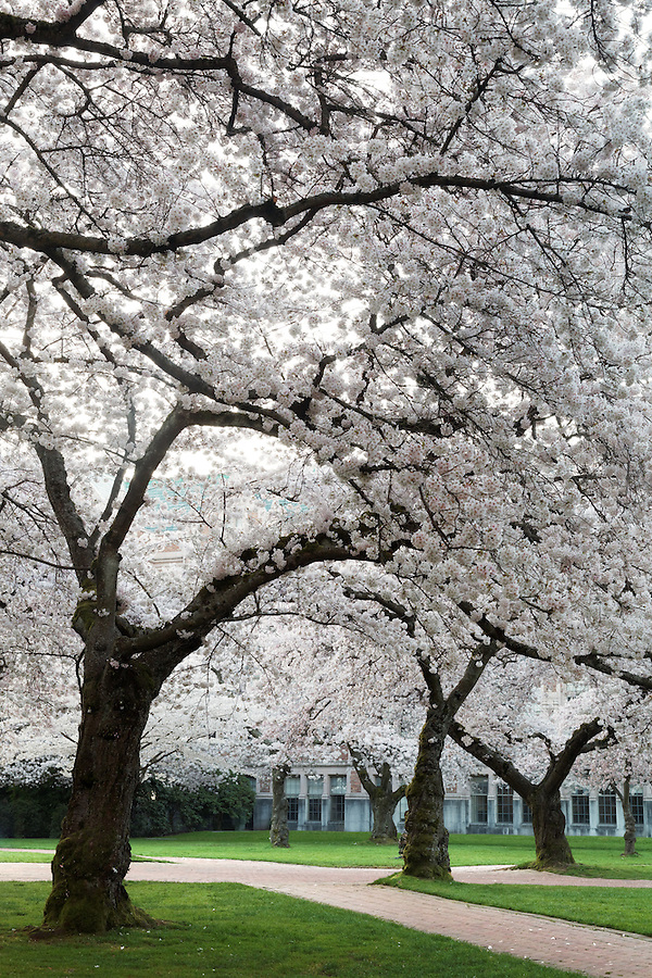 Blooming Yoshino cherry trees, Liberal Arts Quad, University of Washington, Seattle, Washington, USA
