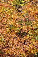 ORPTH_110 - USA, Oregon, Portland, Hoyt Arboretum, Autumn color of American beech trees (Fagus grandifolia).
