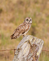 Watchful Pueo: A Hawaiian owl perches itself on a fence post searching for its next meal, Waiki'i, Big Island.