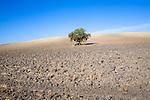 Lone tree standing in ploughed field with blue sky near El Gastor, Cadiz province, Spain