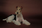 Wire Fox Terrier<br /> <br /> Shopping cart has 3 Tabs:<br /> <br /> 1) Rights-Managed downloads for Commercial Use<br /> <br /> 2) Print sizes from wallet to 20x30<br /> <br /> 3) Merchandise items like T-shirts and refrigerator magnets