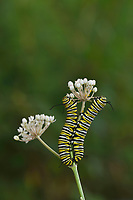 Monarch (Danaus plexippus), caterpillar feeding on Aquatic Milkweed (Asclepias perennis). Hill Country, Central Texas, USA