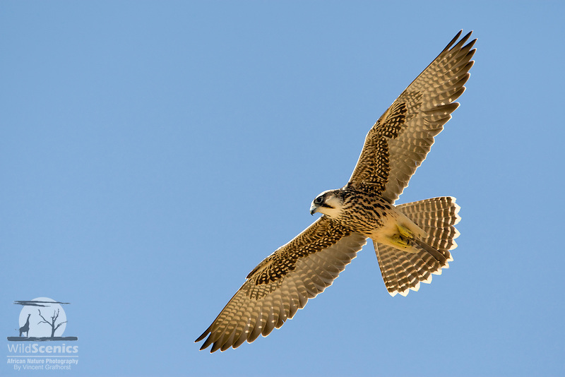 Immature Lanner falcon in flight rim-lit by the high sun