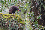 Dusky-legged Guan in Alisos National Park, Argentina