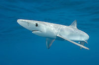 Blue Shark Prionace glauca swimming off of San Diego, California.