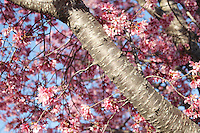 Stock photo - pink cherry blossom tree bark and branches in spring, in Georgia USA.