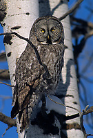 Adult Great Gray Owl (Strix nebulosa) still hunting from an aspen. teton COunty, Idaho. January.