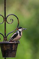 Buntspecht, Männchen sitzt auf Gartendeko, Bunt-Specht, Specht, Spechte, Dendrocopos major, Great Spotted Woodpecker, male, Woodpeckers, Pic épeiche