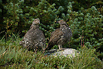 blue grouse duo in the wild, Dendragapus obscurus, Estes Park, Colorado