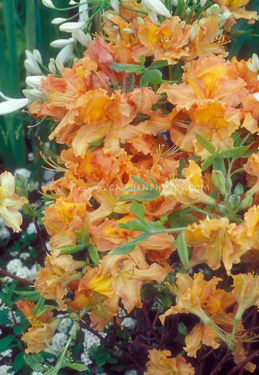 Rhooddendron Gibraltar Exbury Azalea in orange spring flowers