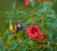 Courtesy photo/TERRY STANFILL<br /> HUMMING ALONG<br /> A hummingbird is seen in mid July near the Eagle Watch Nature Trail at Swepco Lake one mile west of Gentry.