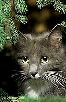 SH33-002z  Cat - house cat