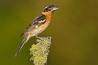 Black-headed Grosbeak - Pheucticus melanocephalus - 1st autumn male