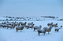 13/01/17<br />  <br /> Snowy sheep near Hartington in the Derbyshire Peak District.<br /> <br /> All Rights Reserved F Stop Press Ltd. (0)1773 550665   www.fstoppress.com