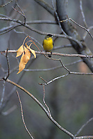 Lesser Goldfinch, Carduelis psaltria, male perched