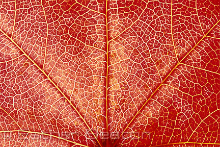 Branching, whether of trees or river systems, also happens in Golden Mean proportions. It is the most efficient way to distribute resources throughout a body. (BRANCHING).An autumn leaf showing branching in leaf veins and changes of colour as nutrients are progressively withdrawn.