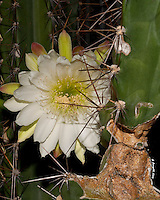 White Cactus Flower, Cacti, Cactus Flower, Midnight Bloom, Macro Photography,<br /> <br /> CLICK ON ADD TO CART ABOVE TO SEE AVAILABLE STYLES, SIZES AND PRICES