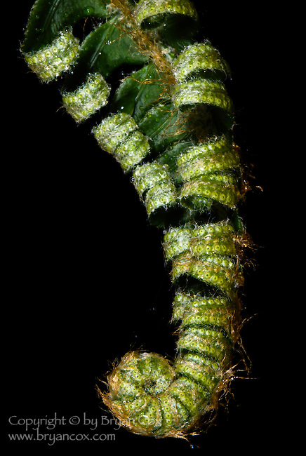 Fern, Coast mountain range, Oregon