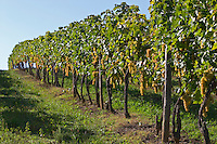 Vineyard. Ugni Blanc. Bordeaux, France