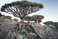 Dragon Blood tree forest facing Dirhur river valley. The Dragon Blood tree is a Socotran icon and one of the most striking plants of the island. This strange-looking tree is one of its countless endemic species. The Dragon's blood's red sap has been used as medicine and dye for hundreds of years. Experts say the future of the species is threatened due mainly to the climate change and to a series of problems that have lead to poor reproduction of the tree.