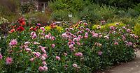 Dahlias flowering in cutting garden; Gamble Garden, Palo Alto, California