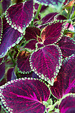 CZECH REPUBLIC, Lednice, Coleus leaf in the gardens of Castle and Greenhouse